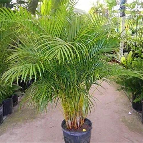 20 PC Bonsai Palmera semillas de bambú Plantas semillas para el jardín: Amazon.es: Jardín