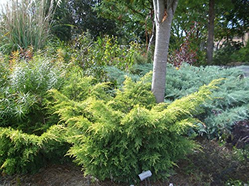 Saybrook Gold Juniper Qty 30 Live Plants Groundcover by Florida Foliage (Image #3)