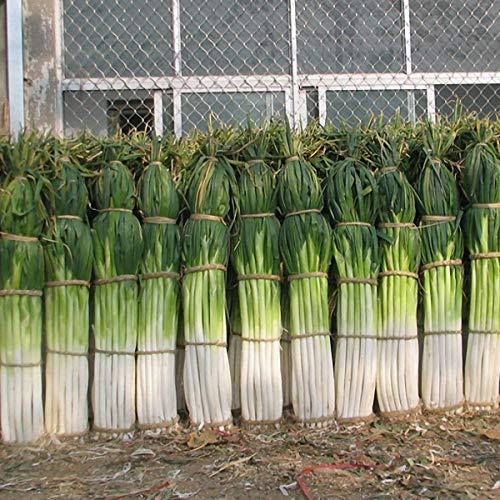 Lysee 100Pcs/Bag Green Scallion Seeds Season Vegetable Seeds Special High-yielding Vegetable Four Seasons Onion Seeds Seasons Giant Shallot Seeds Chives Seasons Onion Plants Health Vegetables Seg