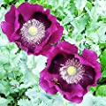 Lauren's Grape - Somniferum Poppy Seeds
