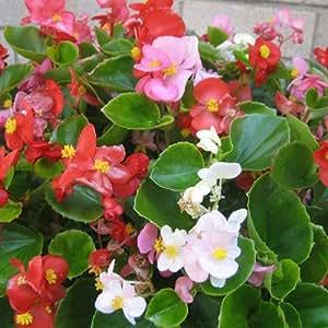 Begonia doublet - 15 unidades - Maceta de 10,5cm - Rosa