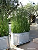 12 x Horsetail Reed Bamboo Looking Zen Garden