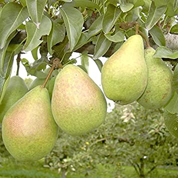 Birnenbaum Gute Luise Herbstbirne Birne Halbstamm 170-200 cm 10 L Topf Sämling