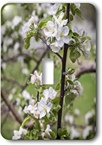 3dRose USA, Massachusetts, Bolton. Apple trees in bloom - Light Switch Covers (lsp_331555_1)