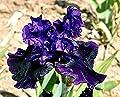 30 Iris Bulbs Rhizome Assorted Colors - Tall Bearded iris - iris Bulb - Flower Bulb - Cleaned