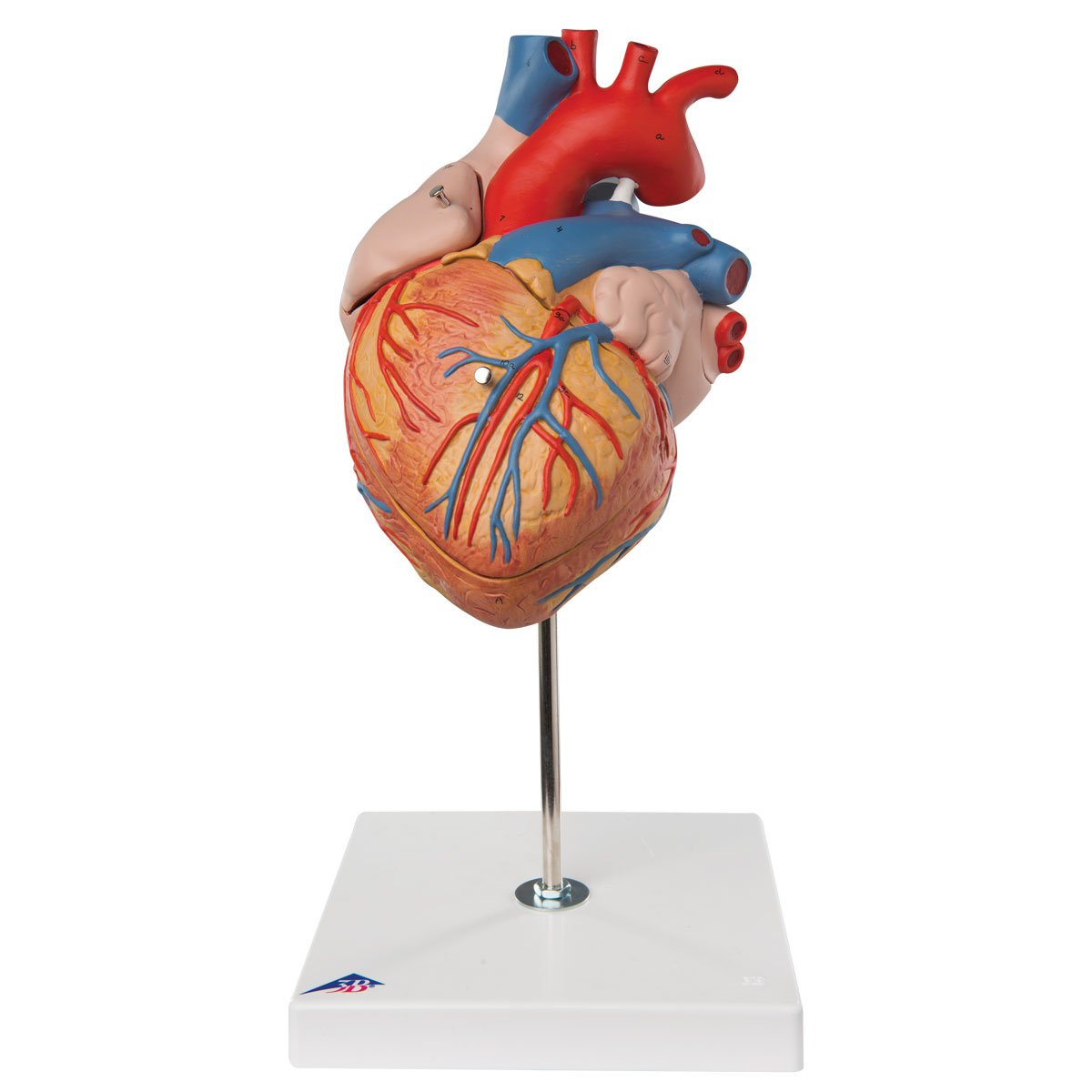 【年間ランキング6年連続受賞】 心臓,2倍大4分解ジャイアントモデル B007NCV64M B007NCV64M, タオルショップ ミミスケ:da79d452 --- a0267596.xsph.ru