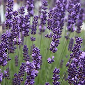 Lavender Seed Fragrant Perennial Lovely Lavender 4 Pack Special Heirloom Seed