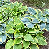 Hosta Bumper Crop Mix 10 Healthy Bare Root Hostas Fabulous Color & Texture for Shady Gardens