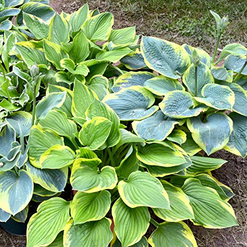 (Hosta Bumper Crop Mix - 10 Bare Root Hostas - Fabulous Color for Shady Gardens | Ships from Easy to Grow )