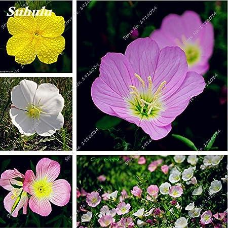 100pcs// lot Zebra Blue Evening Primrose Seeds Flower Bloom in your garden/_decor