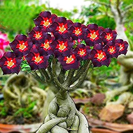 What is a Desert Rose