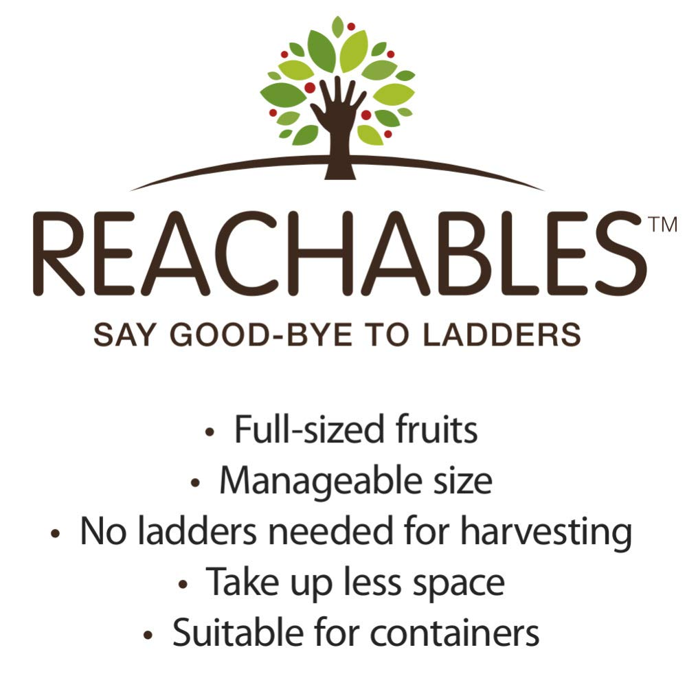 Nectarine Yumm Yumm REACHABLES Bare Root Fruit Tree - Enjoy Nectarines with Needing a Ladder to Maintain! Includes 1 Tree per Order. Due to regulations Can't Ship to AL AR CA CO ID LA MS OR WA by Gurneys (Image #4)