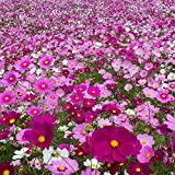 Outsidepride Cosmos Flower Seed Mix - 1 LB