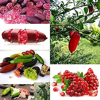 QiBest 20Pcs Ice Pink Finger Fruit Lime Seed Rare Plant Home Garden Balcony Fruits : Garden & Outdoor