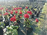 PlantVine Mussaenda - 10 Inch Pot (3 Gallon), Live Plant - 4 Pack