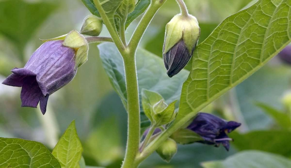 Amazon Com Asklepios Seeds 500 Seeds Atropa Belladonna Deadly
