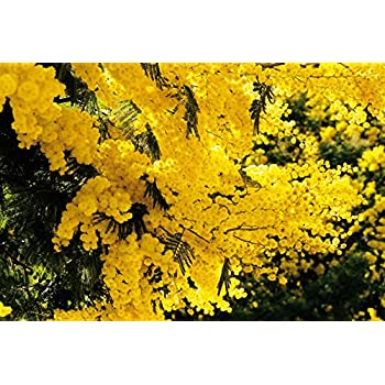 Amazon 10 Golden Mimosa Yellow Wattle Tree Flower Seeds