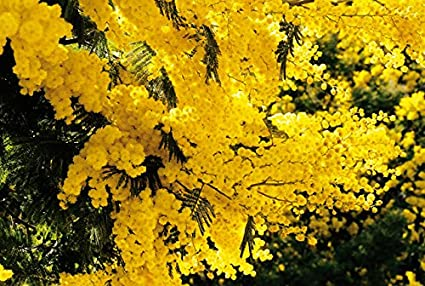 Amazoncom 10 Golden Mimosa Yellow Wattle Tree Flower Seeds