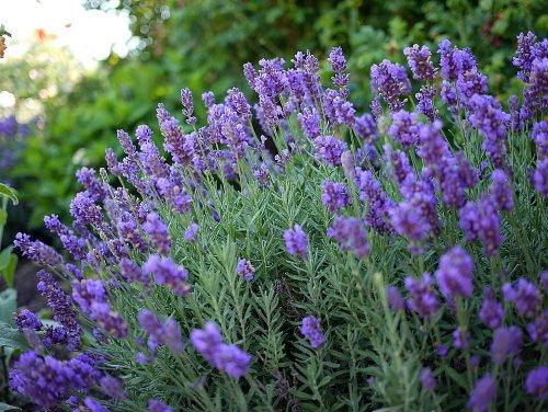 Phenomenal Blue Lavender Herb Inside