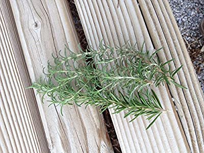 6 Fresh ROSEMARY Sprig Leaves - Cut to Order & Shipped Fresh