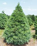 25 Scotch pine Tree Seeds (Pinus sylvestris) makes an excellent Christmas tree by Seeds and Things