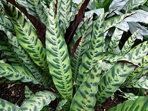 Rattlesnake Plant - Calathea lancifolia - Easy House Plant - 4