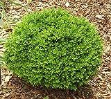 True Dwarf English Boxwood (buxus) - Live Plant - Trade Gallon Pot
