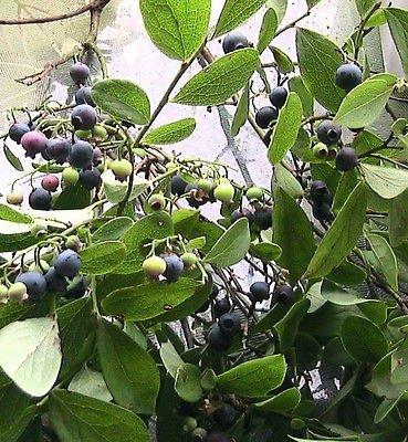 10 Huckleberry Seeds WILD EDIBLES