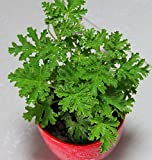 Mosquito Repelling Grass 200pcs Mozzie Buster Sweetgrass. Garden & Home Bonsai Plant. Easy Planting Free Shipping Indoor Plant