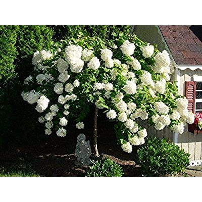 Live Plant - Pee Gee Hydrangea - Shipped 1 to 2 Feet Tall Live Tree Flowers Plant for Planting Outdoor #RR04 : Garden & Outdoor