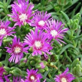 1 Healthy Starter Plant of Delosperma cooperi