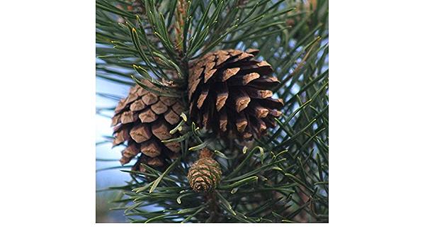 fresh seeds Scotch Pine Tree SeedsPinus sylvestris 30
