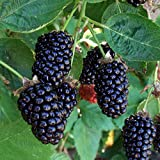 1 Rooted of Marionberry Plant Live Plants Organic