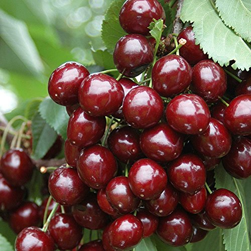 1 Stella Cherry TREE16-18 INCH Flowering Fruit Trees Blooms Sale Today ONLY