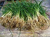 New and Healthy Standard MONDO GRASS -- 100 bare-root starts -- Border Plant -- Groundcover