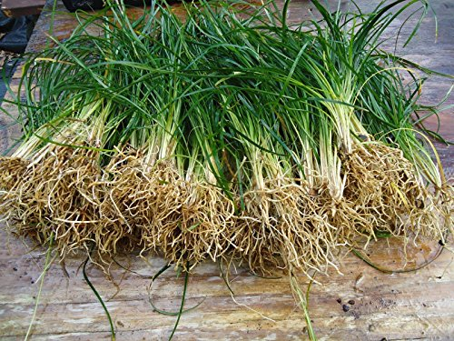New and Healthy Standard MONDO GRASS -- 100 bare-root starts -- Border Plant -- Groundcover (Start Grass)