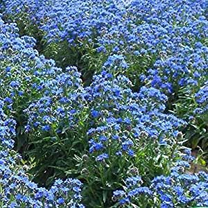 100 pcs/bag South Africa Anchusa Capensis Seeds Herbs Perennial Medicinal Beautiful Flowers Garden Plant