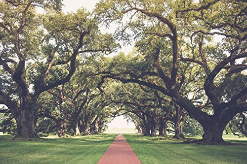 8x12 - 30x45 | Oak Alley | The alle at Oak Alley Plantation outside of New Orleans, Louisiana
