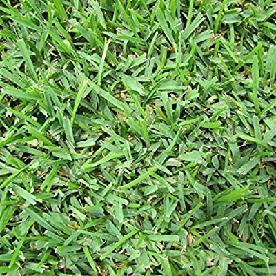 Seed Ranch St Augustine Palmetto Grass Plugs - 2 Trays : Garden & Outdoor