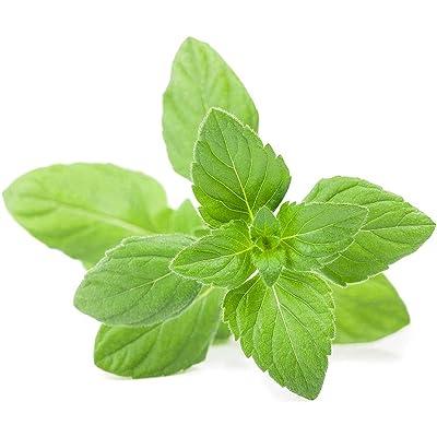 hudiemm0B Catnip Seeds, 1000Pcs Catnip Seeds Rare Herb Non-GMO Bonsai Plant Easy Grow Home Garden Decor Catnip Seeds: Sports & Outdoors