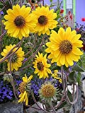 100 Seeds of Helianthus mollis, Downy Sunflower, Ashy Sunflower