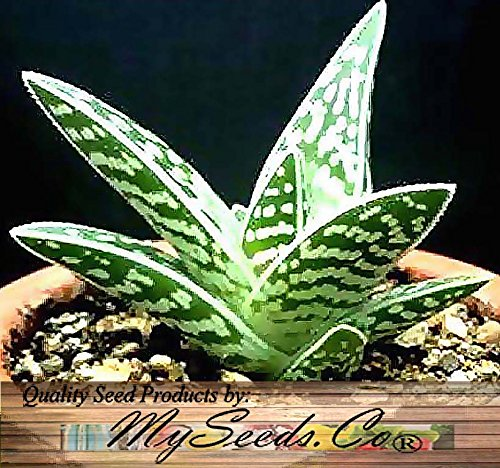 20 x Aloe variegata, Tiger Aloe, Partridge-breasted Aloe Plant Seeds - Great for GREENHOUSE & INDOOR - indigenous to South Africa and Namibia