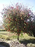 Sandys Nursery Online Callistemon Bottlebrush Red Cluster callistemon Gallon Pot