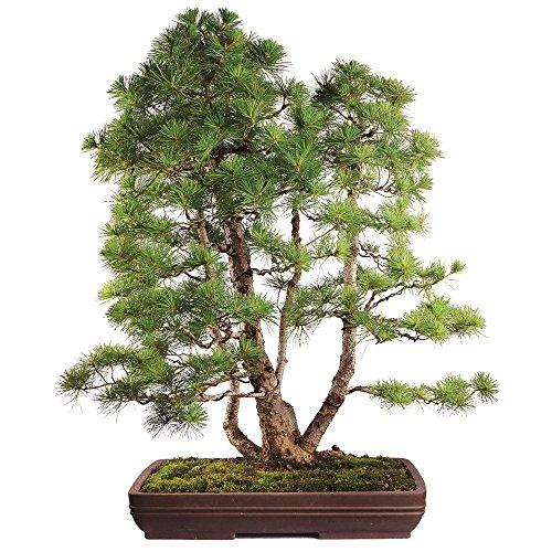 Brussel's Japanese Five Needle Pine Specimen Bonsai Bonsai Pine Needles
