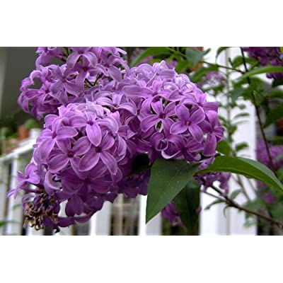 Heirloom 25 Seeds French Lilac Flower Shrub Tree Seeds : Garden & Outdoor