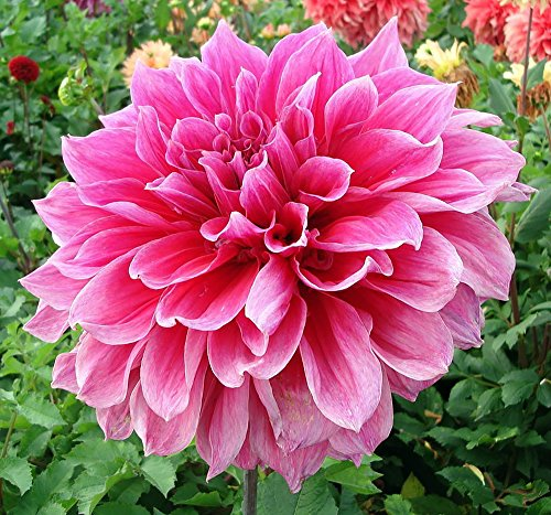 (Emory Paul Dinnerplate Dahlia - 2 Bulb Clumps #1)