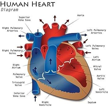 Amazon.com: The Heart - Educational Classroom Science ...