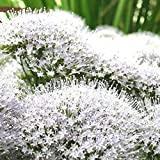 25 Pcs White Throatwort Trachelium Caeruleum Flower Seeds #SSNH