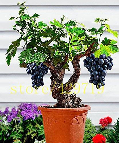 bonsai di vite