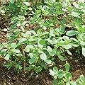 David's Garden Seeds Leafy Greens Purslane Red Gruner SL7439 (Green) 500 Non-GMO, Open Pollinated Seeds